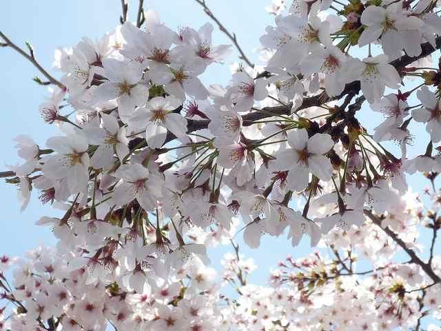 マンション近くの桜.jpg