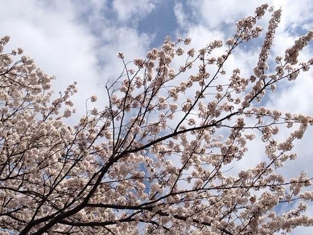 今年の桜2.jpg