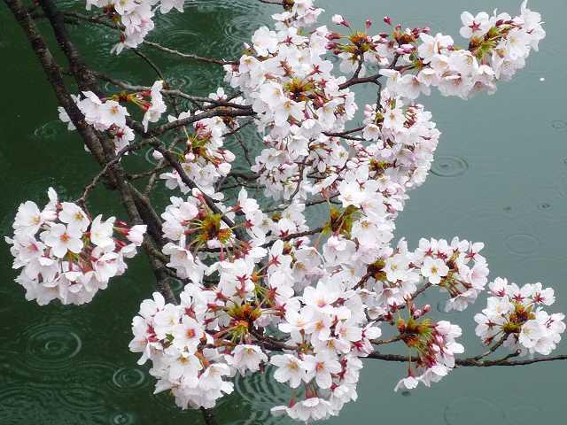 桜とお堀2.jpg
