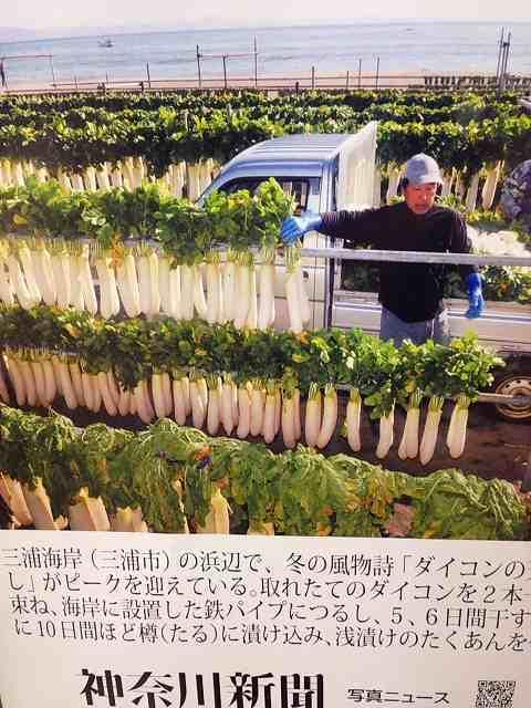 神奈川ニュースの三浦大根.jpg